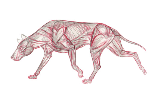 dog muscle step 5