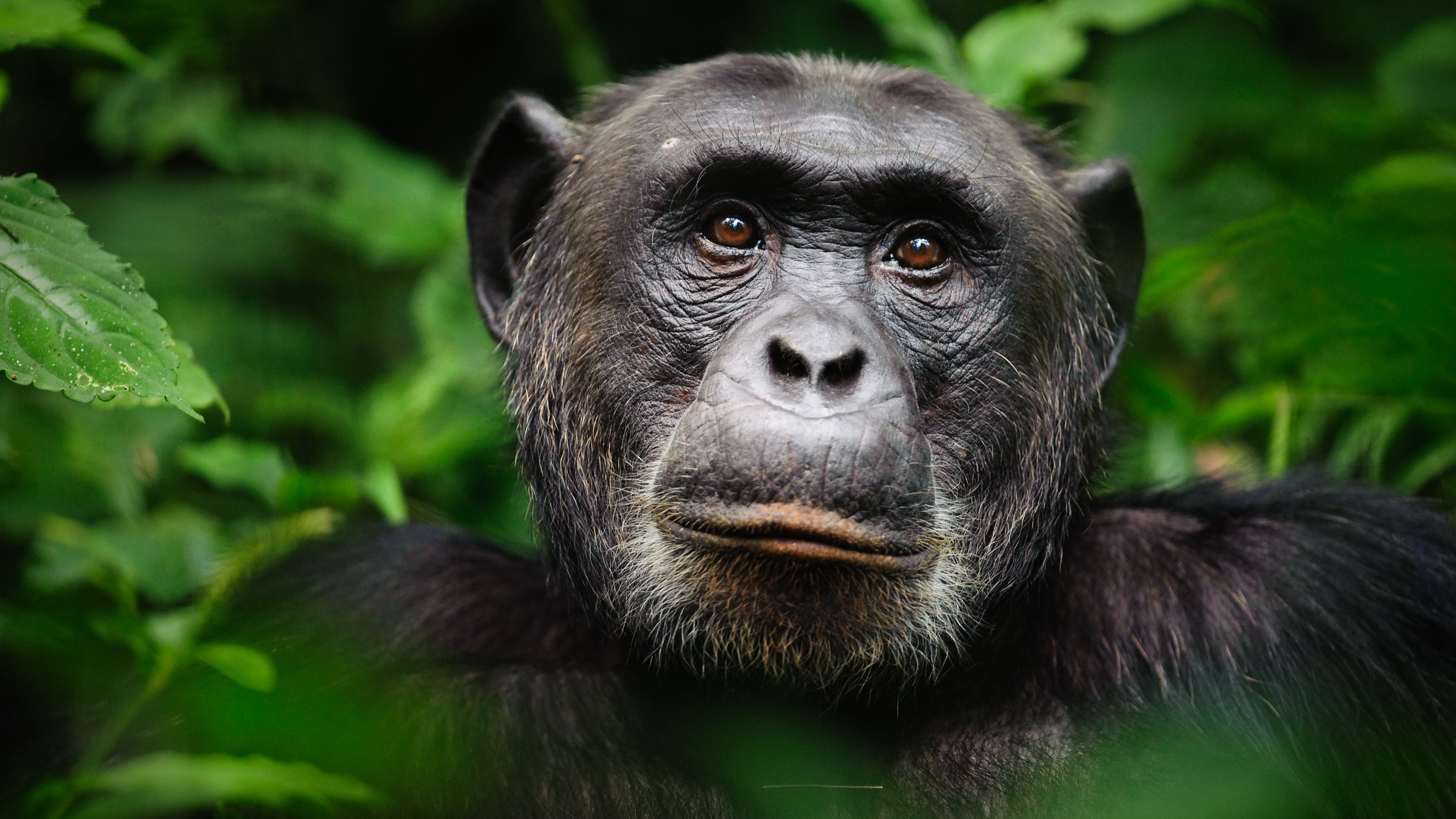 Chimpanzees: Intelligent, social and violent thumbnail
