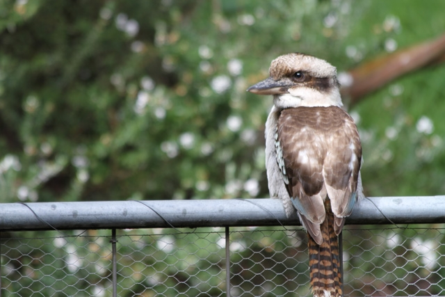 Ever wonder what a Kookaburra looks like Here it is!