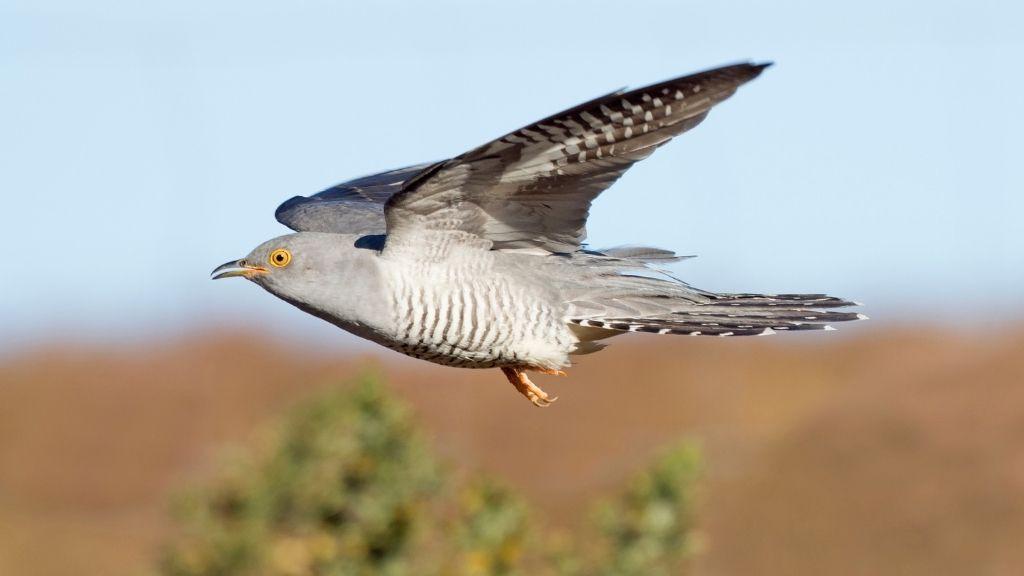 Cuckoo chicken has crossed the Sahara 10 instances in 5 years 6MWSkJXUaRNXaNMrfU3w8M