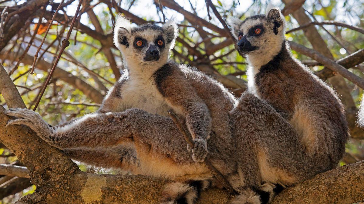 Lemurs: A diverse group of endangered primates