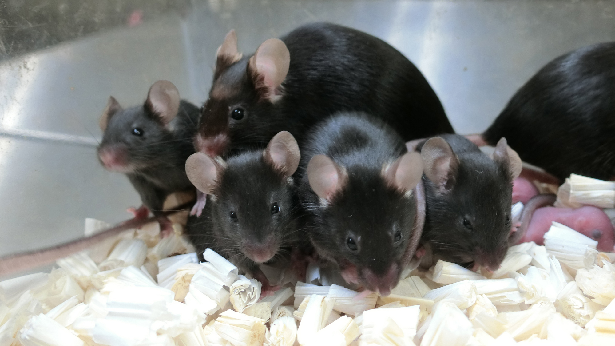 <p>'Space pups' Generated from freeze-dried mouse sperm Kept on space station thumbnail