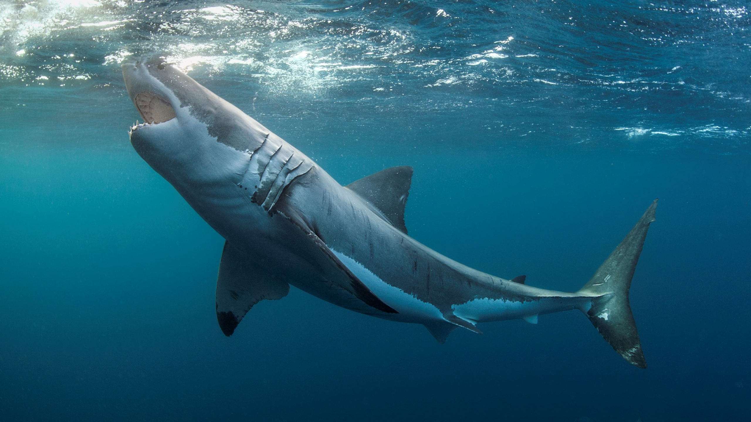 Great white sharks can't see a difference between humans and prey