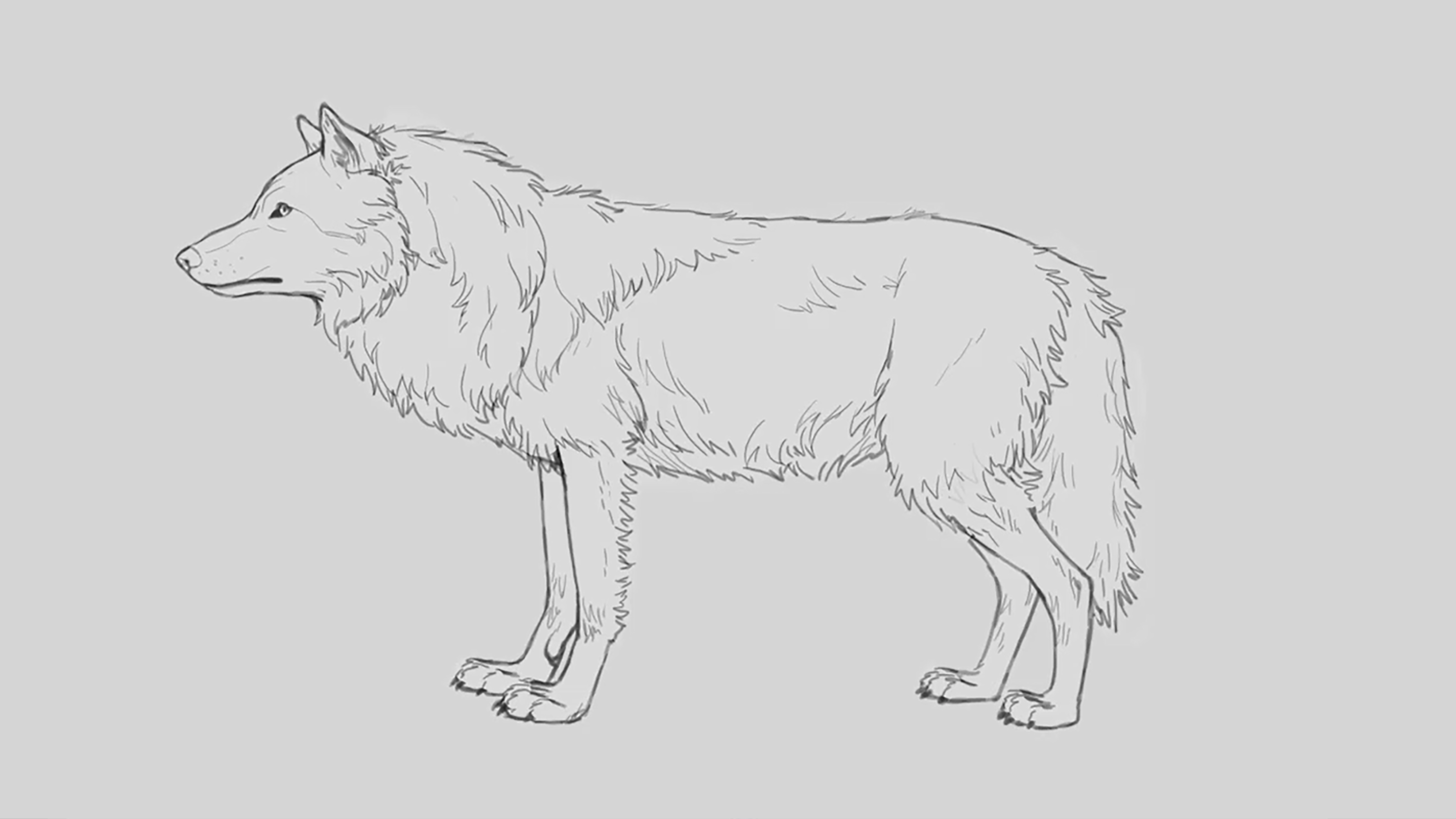 Pencil sketch of a wolf with a full winter coat