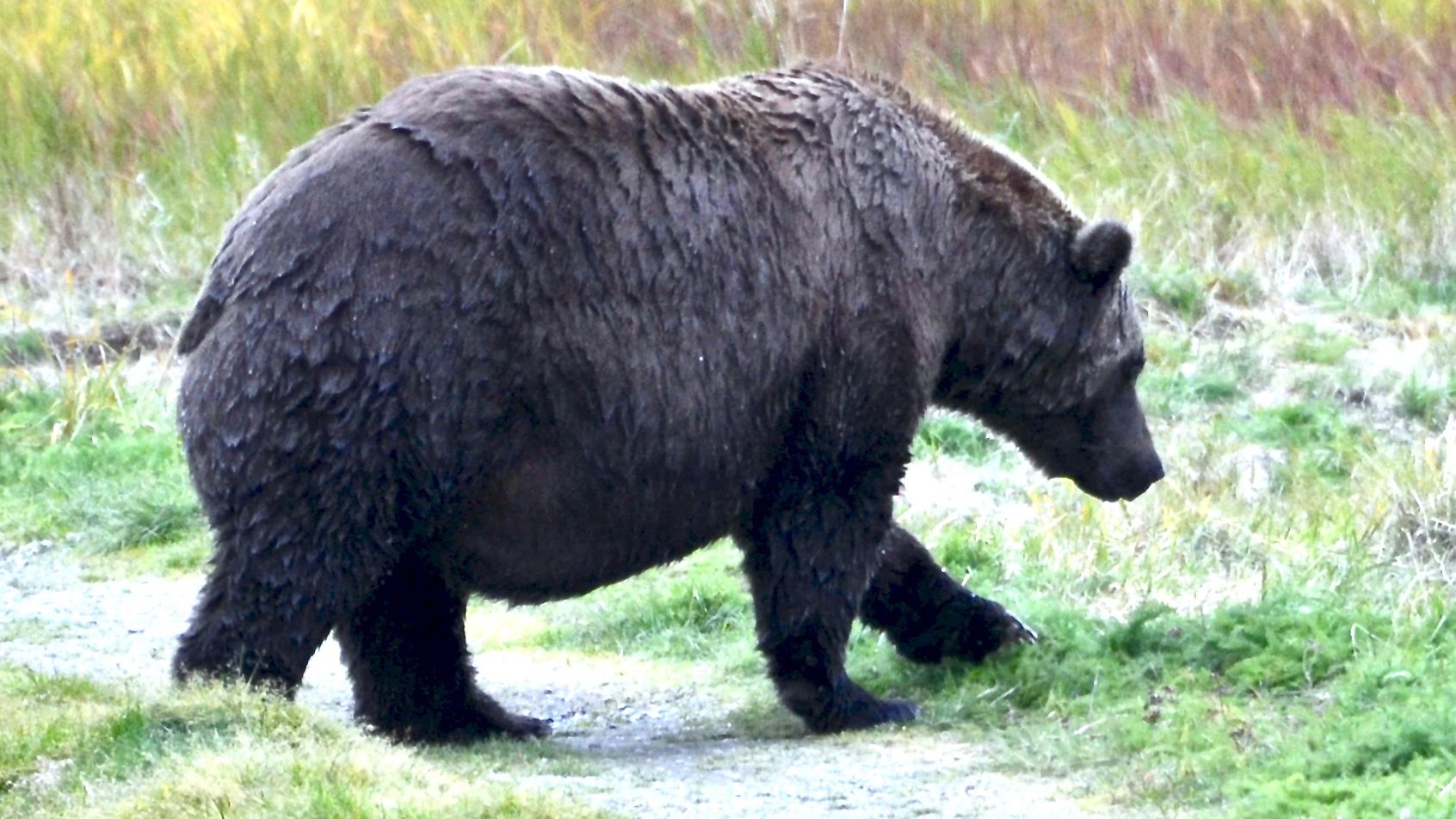 It is time to vote for the chonkiest bearin Katmai Nationwide Park TgozXDDXNnQmrFXA7whiUa