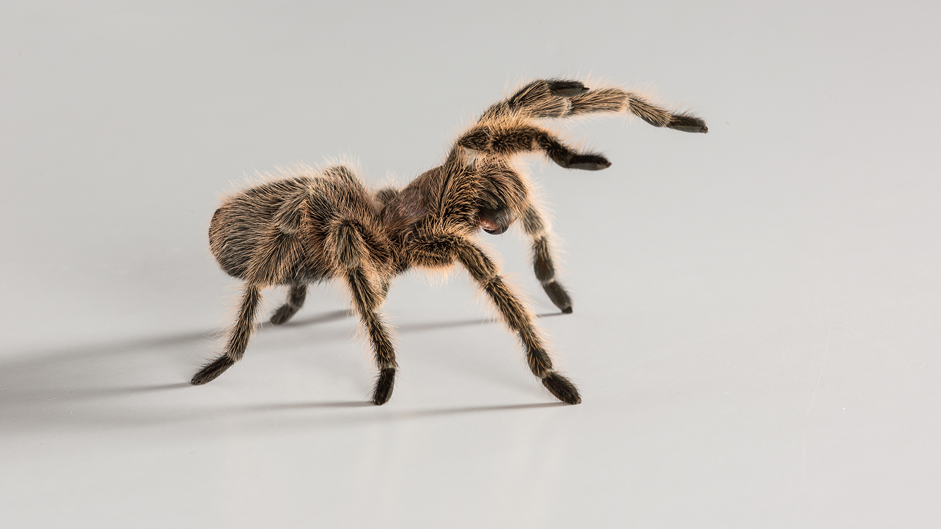 Tarantulas conquered Earth by spreading over a supercontinent, then using its damaged items throughout the ocean WWDMzqkbCMU6qidZxRFYDm