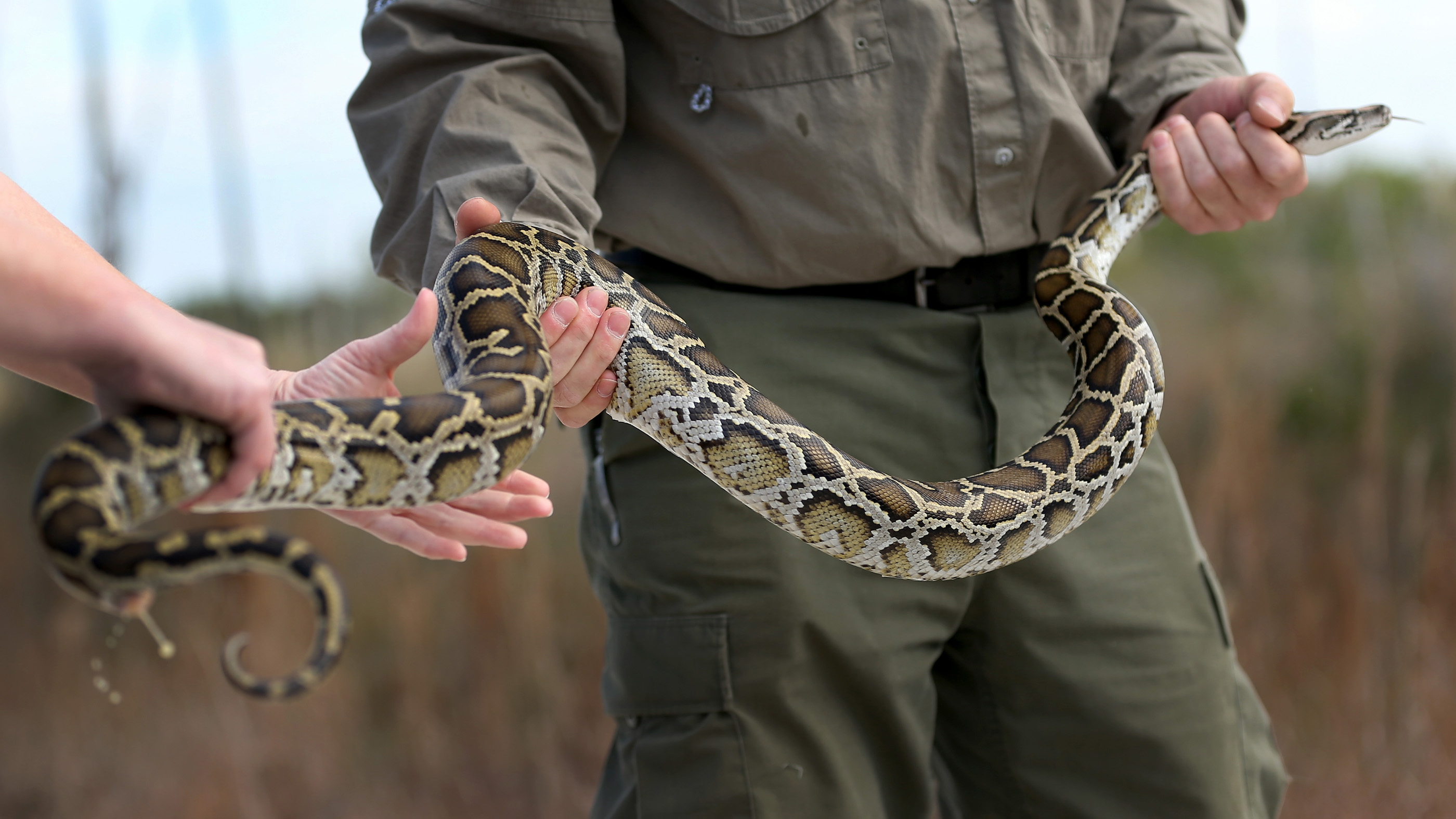 Would you eat a python to avoid wasting the Everglades? ddoJ9izj5AM7VJ8VPhTkE7