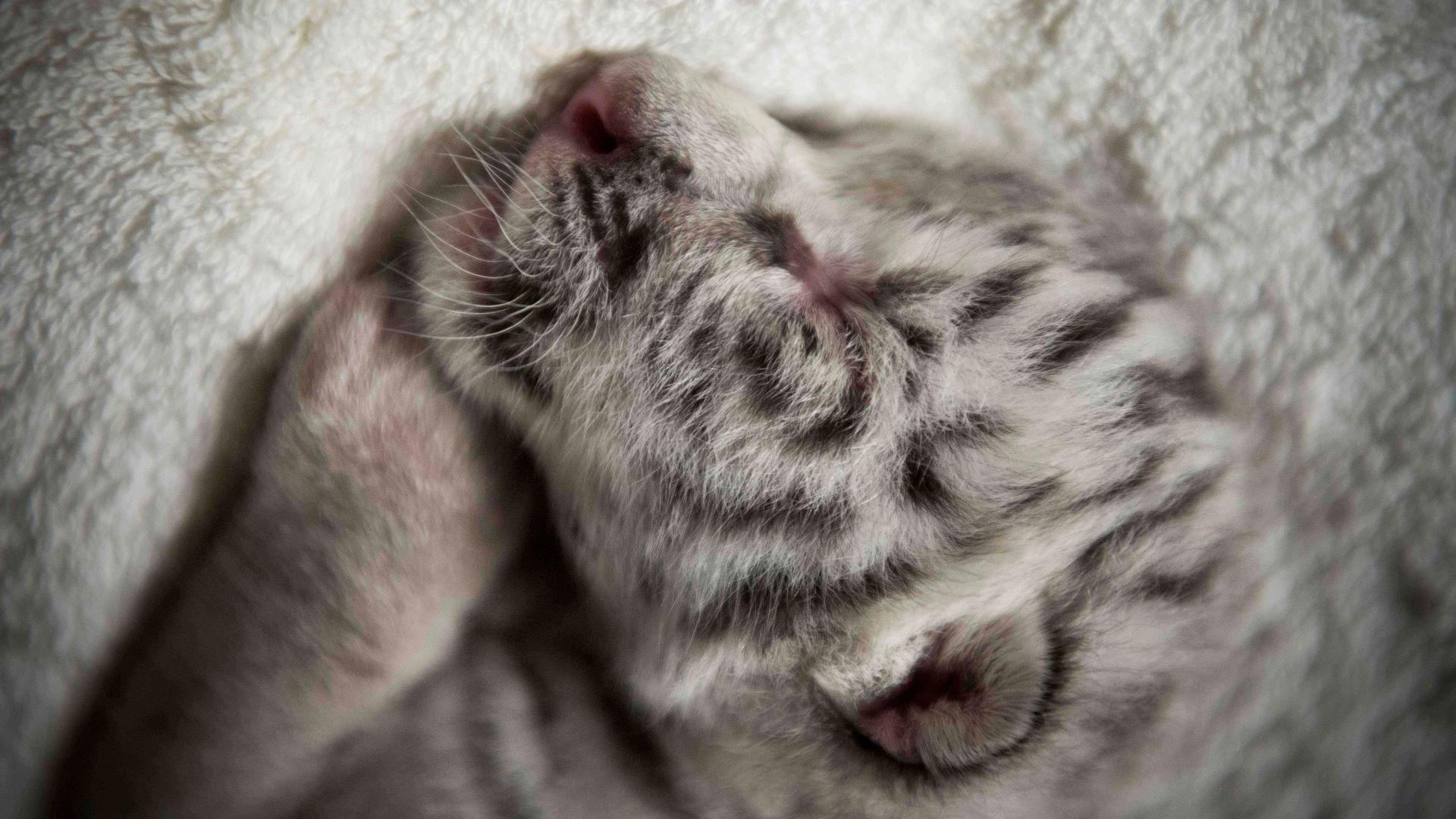 The strange history of white tigers