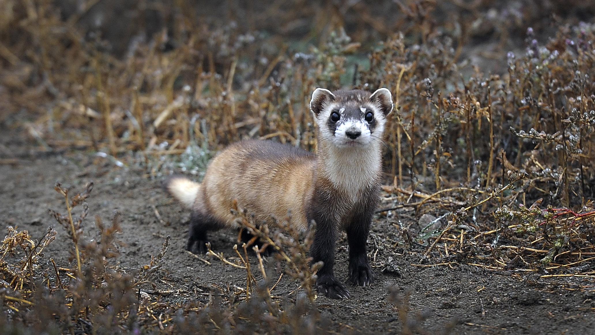 Endangered ferrets get experimental COVID-19 vaccine thumbnail