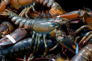 Live lobsters caught in Bar Harbor, Maine.