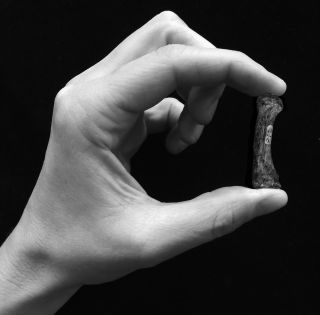 An example of a human precision grip, grasping an Australopithecus africanus first metacarpal of the thumb (3-2 million years old).