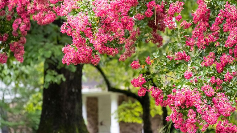 Pink crape myrtle (Lagerstroemia) is one of the best low maintenance trees