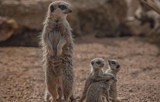THE SECRET LIFE OF THE ZOO -Meerkat