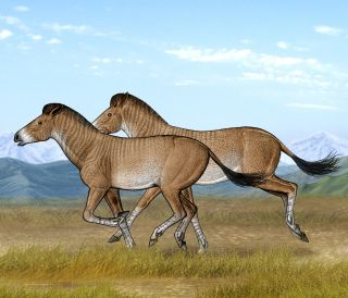 Two Zanda horses are running fast in their open steppe habitat of the Tibetan Plateau
