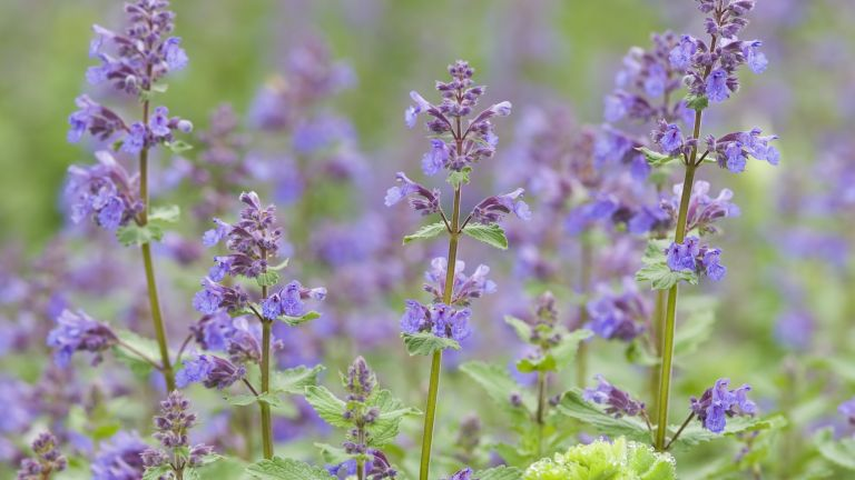 nepeta also known as catmint is one of the best mosquito repellent plants