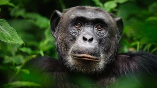 A closeup of a chimpanzee's face in Kibale Forest National Park, Uganda.