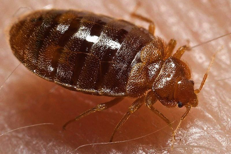 Bedbugs Facts Bites And Infestation Live Science