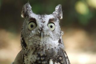 wildlife, owls, owl facts