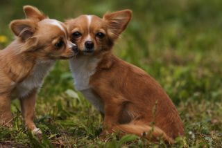 Two Chihuahuas sniff outside.