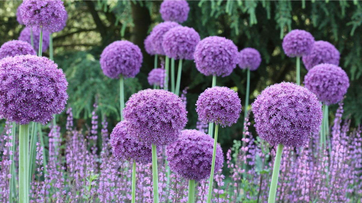 How to plant allium bulbs  add eye
