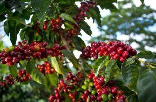 coffee, climate change, global warming