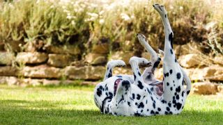 Home remedies for fleas on dogs - Dalmatian rolling around on the lawn with legs in the air