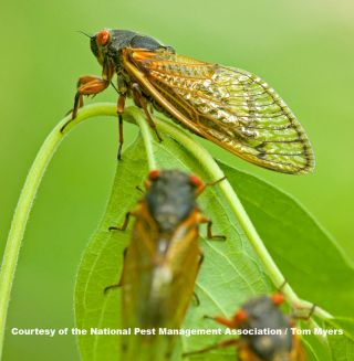 periodical cicadas on leaves