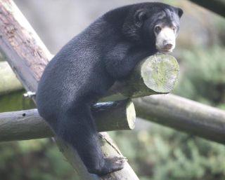 indera-sun-bear-1-111101-02