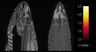 "fMRI scan of a dead Atlantic salmon, showing a ""false positive"" signal that could be wrongly interpreted as brain activity."