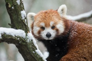 Facts About Red Pandas | Live Science