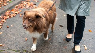 Dog walking etiquette: woman taking her dog for a walk on a fall day