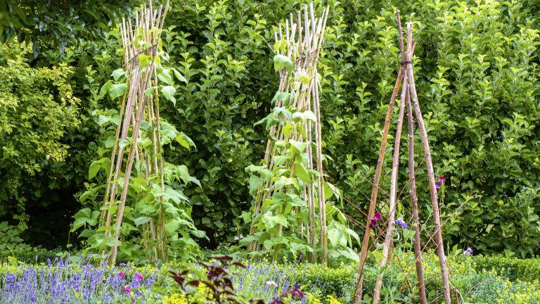 Runner beans growing in a vegetable garden on a wigwam made of wooden sticks