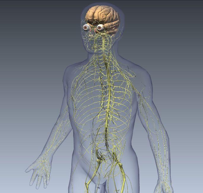Biodigital human nervous system