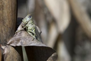 locust on corn