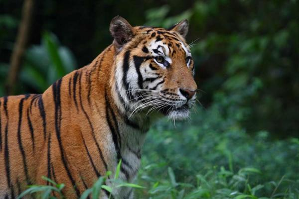 Iconic Cats: All 9 Subspecies of Tigers | Live Science on where do hippopotamus live, where do geckos live, bengal tiger live, where do snow petrels live, where do tigers live, asia where tigers live, where do kangaroos live, map of siberian tigers, map where tiger sharks live, map of tigers in asia, where the sumatran tigers live, countries where tigers live, how long do tigers live, where do most lions live, places tigers live, where does a tiger live, india where tigers live, where do most pandas live, where do piranhas live, map where bears live,