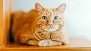 Orange tabby cats: Orange kitty with green eyes lying down looking at camera