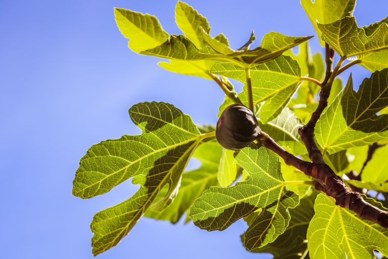 Monty Don's fig tree growing tips: A fig tree, by Jamethlene Reskp