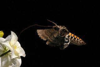 A hawk moth hovering