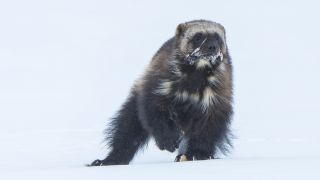 Wolverines live at high elevations in mountainous regions of the western United States.