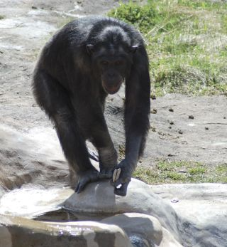 A male chimpanzee named Santino hides rocks and sneaks up on visitors before hurling the projectiles at them.