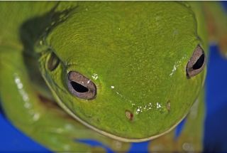 An Australian green tree frog with water condensing on its head.