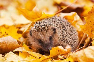 European hedgehog in maple leaves.