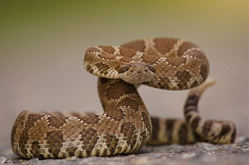 Photos: How to Identify a Western Diamondback Rattlesnake