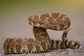 Western Rattlesnake coiled and ready to spring