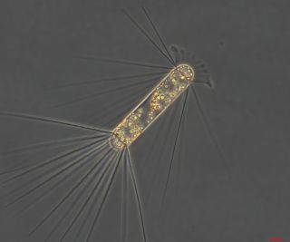 This species of diatom, <em>Corethron pennatum</em>, bloomed during the iron fertilization.