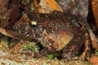 frog, robber frog, big headed frog, bolivia, andes, amazon, madidi national park