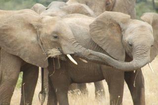 Elephant family eating