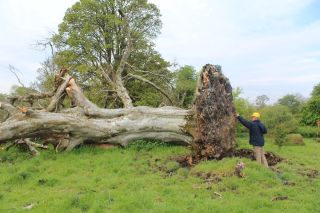A medieval skeleton was unearthed, partly entangled in the roots of an old beech tree, during storms in Ireland in May.