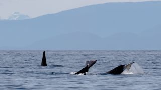 A pod of transient orcas at the surface near where the encounter occurred.