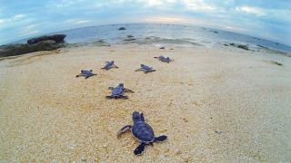 A photo provided by the Australian government shows baby sea turtles crawling toward the surf on Raine Island.